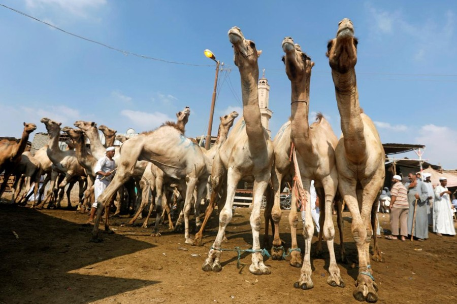 Camel Market at Birqash