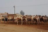 Day Trip to Camel Market of Birqash