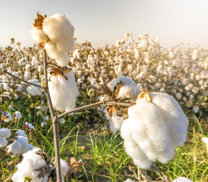Egyptian raw cotton